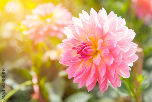 Autocollant pour porte Dahlia colorful of dahlia pink flower in Beautiful garden
