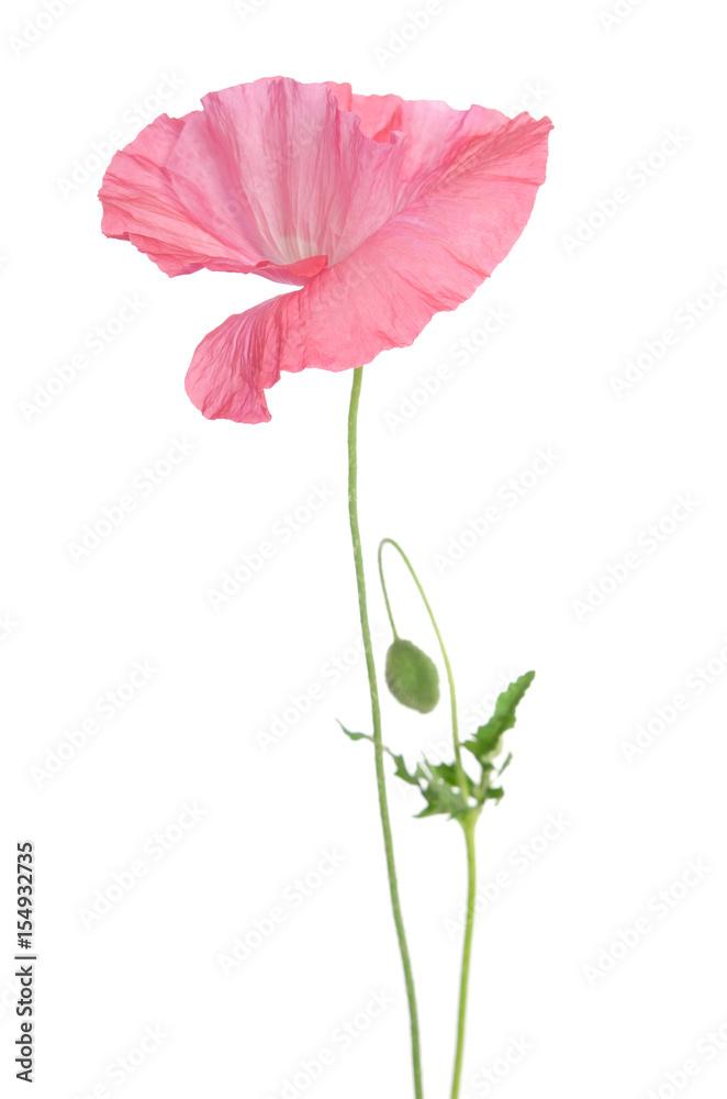 beautiful single pink poppy isolated on white