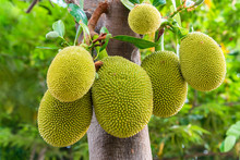 Jackfruit Is A Fruit In Thailand
