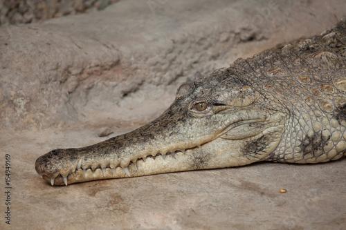 Slender-snouted crocodile (Mecistops cataphractus).