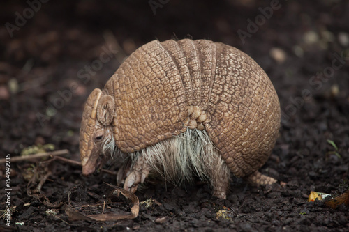 Photo Southern three-banded armadillo (Tolypeutes matacus)