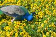 Leinwandbild Motiv Blauer Pfau im Park