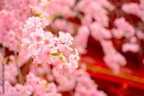 春の仁和寺