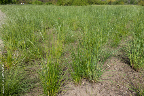 Valokuva  Meadow covered with spear grass in spring