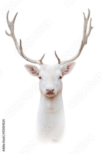 Valokuva  White albus deer portrait isolated on white background