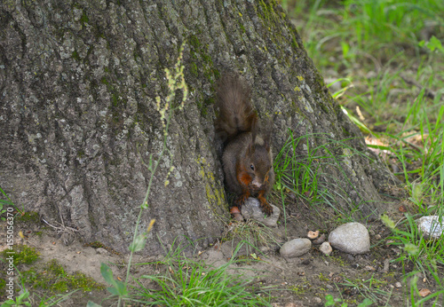 Printed kitchen splashbacks Squirrel Scoiattolo che mangia una noce ai piedi dell'albero nel bosco