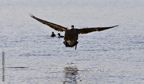 Valokuva  Beautiful isolated image of a landing Canada goose