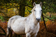 White New Forest Pony In Forest During Autumn, UK