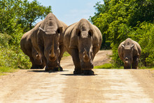 A Family Of Rhinoceros Steadil...