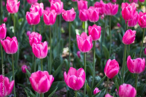 Spoed Fotobehang Roze tulip flowers in spring