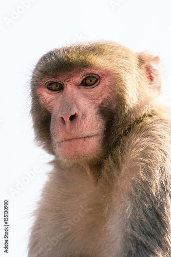 In de dag Aap Curious Jaipur monkey portrait