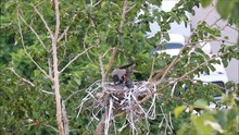 Crow's Nest With Chicks. They ...