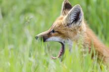 Sleepy Young Red Fox Kit Yawning