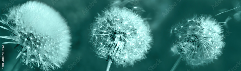 Fototapety, obrazy: Dandelions on a blue background