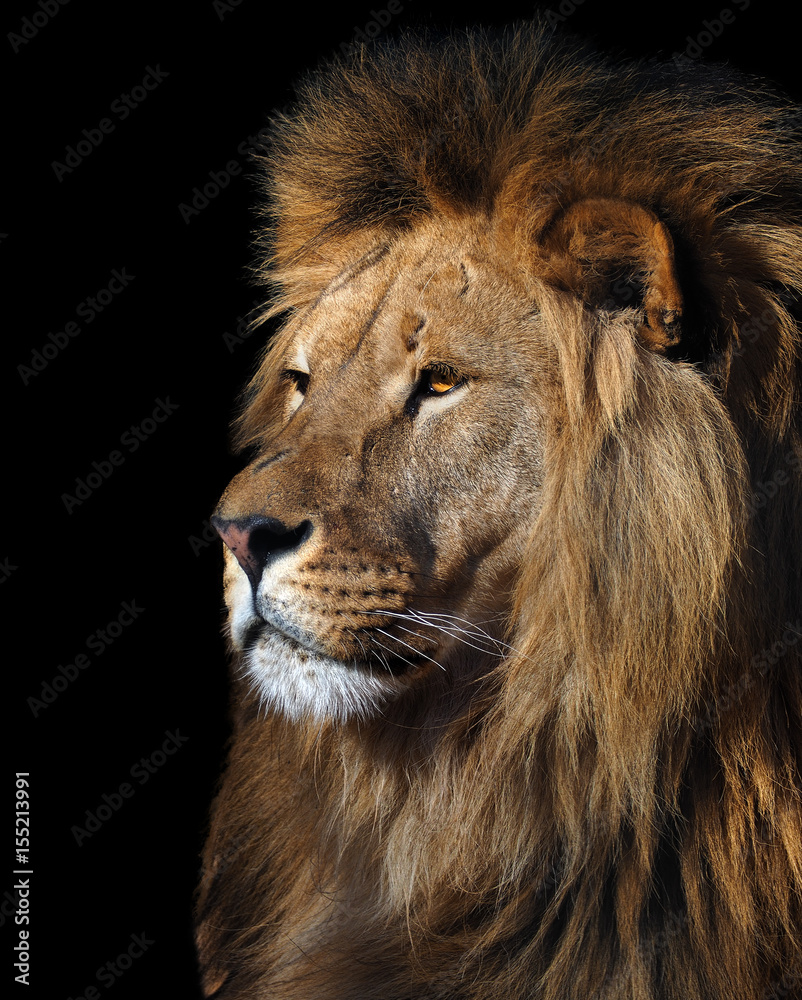 Fototapeta Lion's profile portrait isolated at black