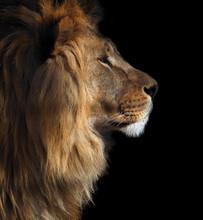 Lion's Profile Portrait View F...