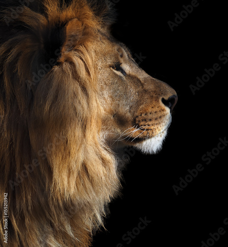 Lion's profile portrait view from right isolated at black