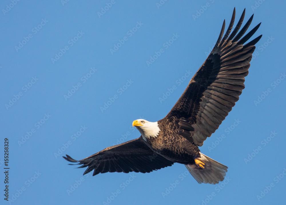 Fototapety, obrazy: Bald Eagle