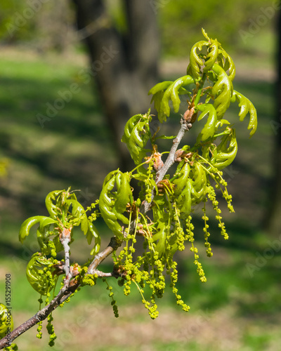 Blossom of English Oak Tree or Quercus robur with male flowers close-up, selective focus, shallow DOF