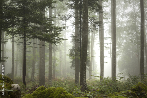 Lovely foggy forest tree landscape. Wallpaper Mural