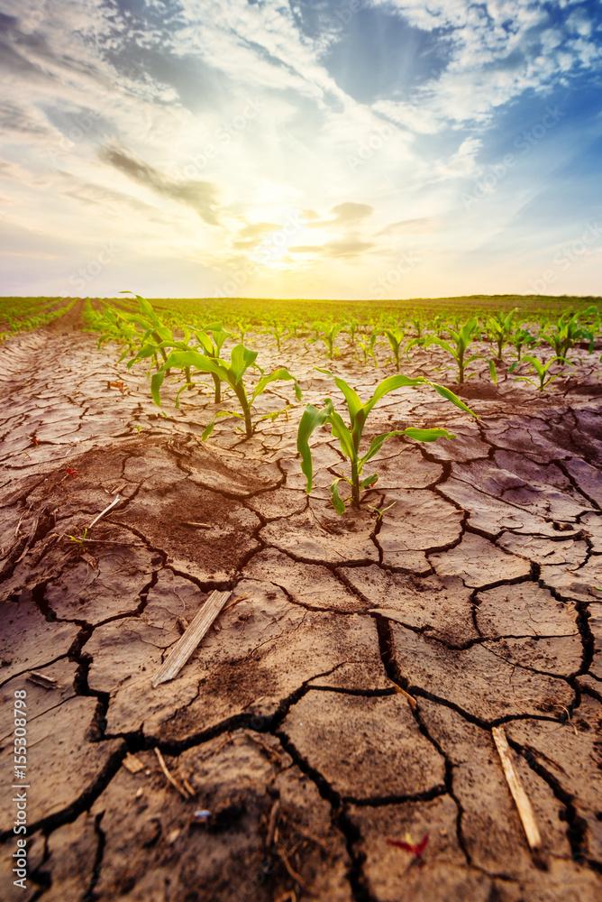 Fototapeta Drought in cultivated corn maize crop field