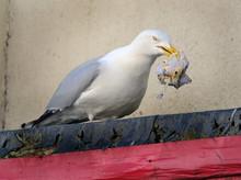 Herring Gull Scavenging Rubbis...