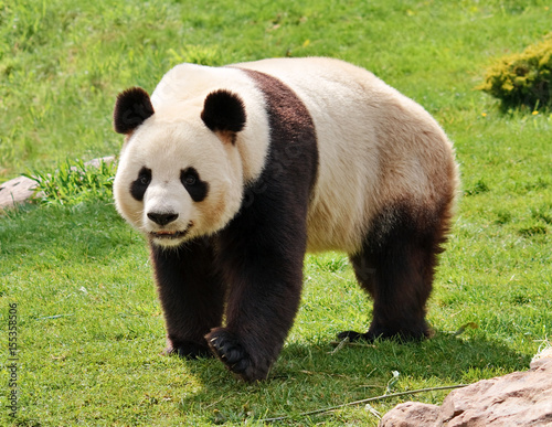 Giant panda looking at camera.