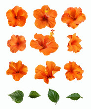 A Set Of Orange Hibiscus Flowe...