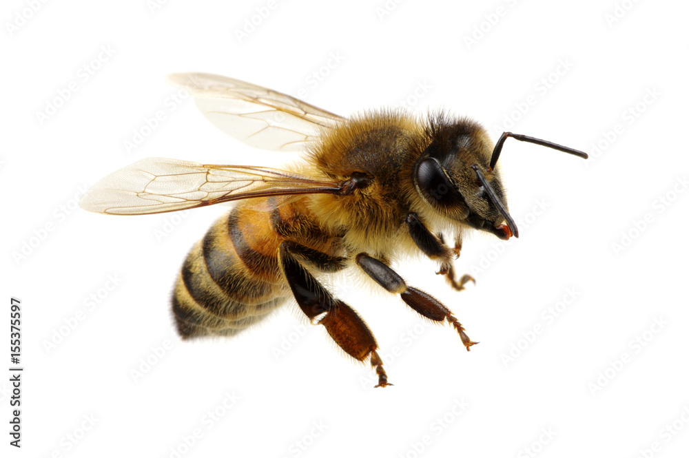 Fototapety, obrazy: Bee on the white