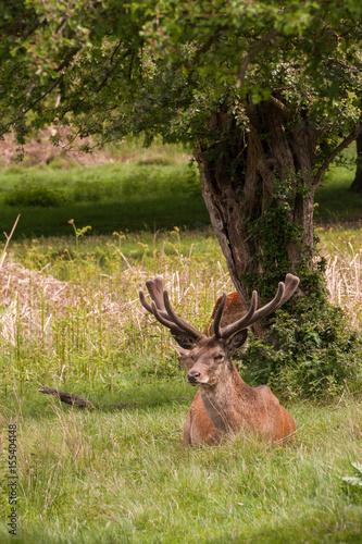 Fotobehang Ree Deer in Richmond Park near London