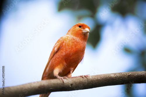 Fotografia  Red canary on its perch in front