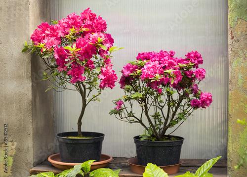 Plakat Azalia kwiat w doniczkach