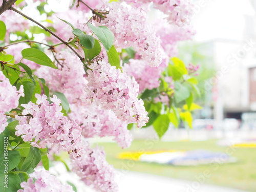 Fotobehang Lilac 札幌大通り公園のライラック