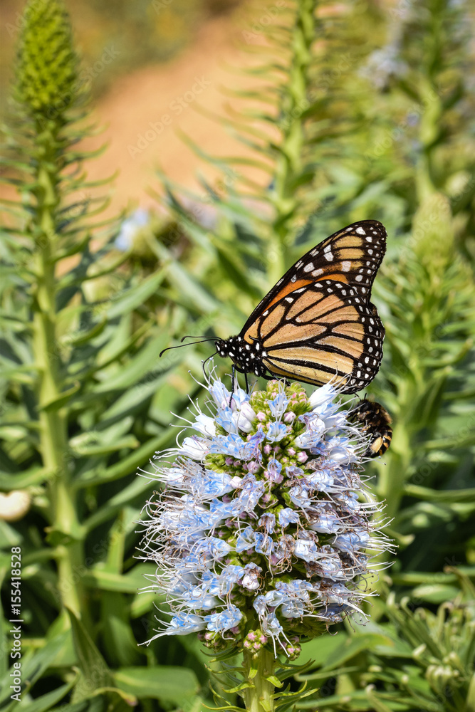 Fotografie, Tablou  Float like a butterfly sting like a bee, Monarch Butterfly and Banded Bee on ech