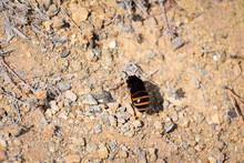 Burrowing Banded Bee - Porto S...