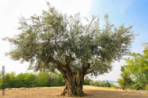 Photo sur Aluminium Oliviers 香川県土庄町 樹齢千年のオリーヴ大樹