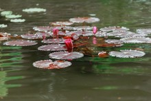 Spring Water Lily Travel,