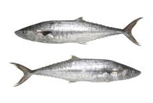 Fresh Pacific King Mackerels Or Scomberomorus Fish Isolated On White Background.