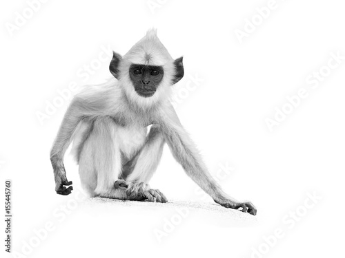 Fotoposter Aap Isolated on white, artistic black and white photo of young Gray langur, Semnopithecus entellus, monkey baby sitting on the stone wall, staring directly at camera. Anuradhapura,Sri Lanka.