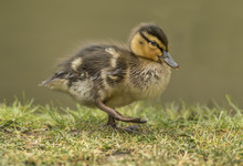 Duckling Walking On The Grass,...