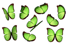 Set Colorful Isolated Butterflies. View Insects Lepidoptera Morpho Amathonte Vector Illustration.