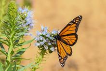 Monarch Butterfly On Echium Pu...