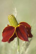 Mexican Hat Flower, Ratibida Columnaris