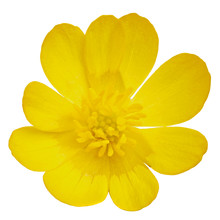 A Blossoming Buttercup Flower ...