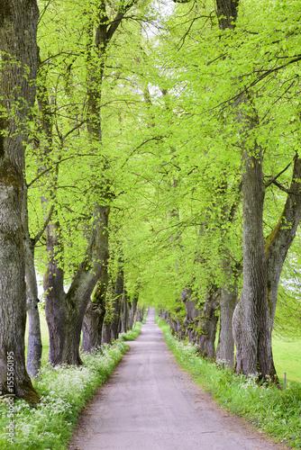 Obraz na płótnie Baumallee mit Fußweg im Frühling