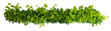 Heart Shaped Green Yellow Leaves Of Devil's Ivy Or Golden Pothos, Panoramic Top View Bush Isolated On White Background, Clipping Path Included.