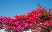 Bougainvillea In Full Bloom Du...