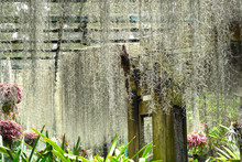 Spanish Moss Growing On The Roofs On An Indoor Garden In Singapore.