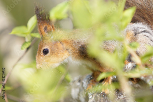 Foto op Canvas Eekhoorn Close up view of a red squirrel in tree foliage