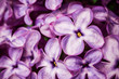 Purple violet liliac flower closeup macro background in studio.